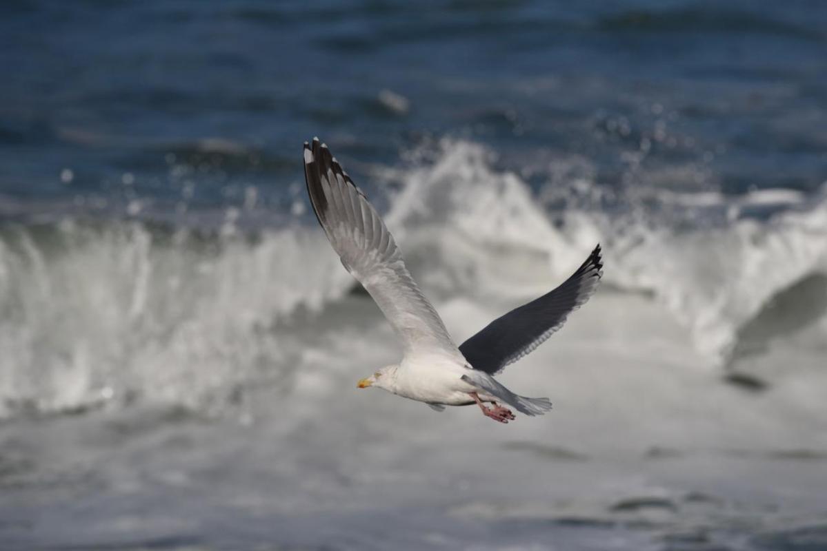 Vol de goéland avec vague